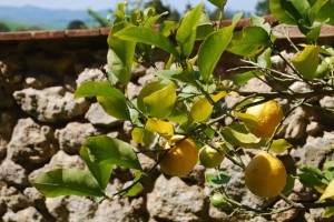 Zitronen Toskana
