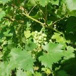 Wein ernten & selber machen in der Toskana