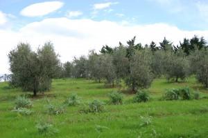 Immobilie mit Olivenahin und Weinberg Toskana